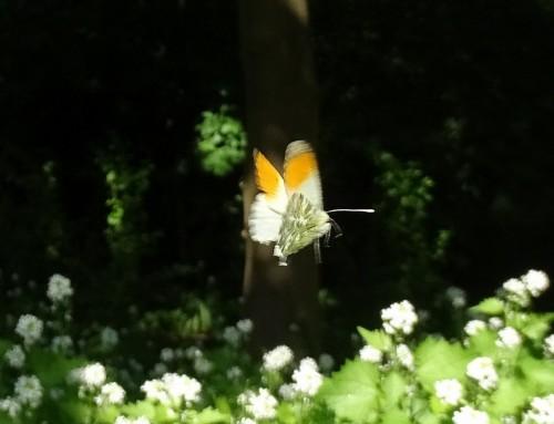Een oranjetipje in het Koningspark